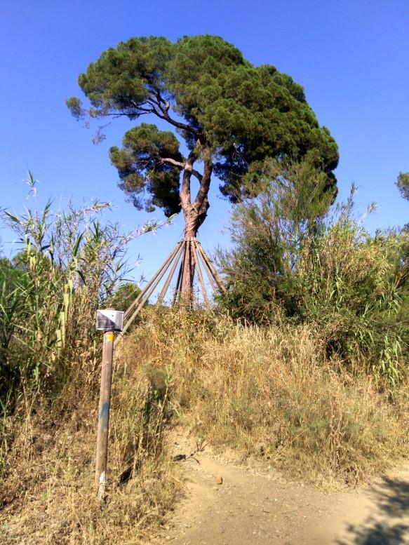 Pi d'en Xandri aprox km2.3
